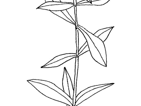 Maidenstears (Silene Vulgaris) https://www.sagebud.com/maidenstears-silene-vulgaris/