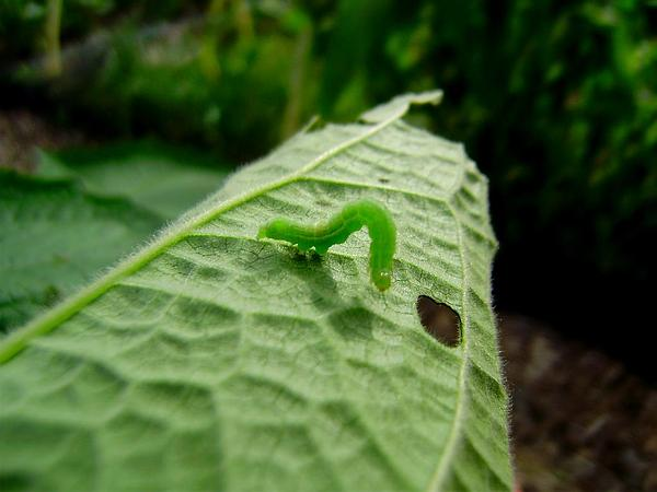 Smallanthus (Smallanthus) https://www.sagebud.com/smallanthus-smallanthus