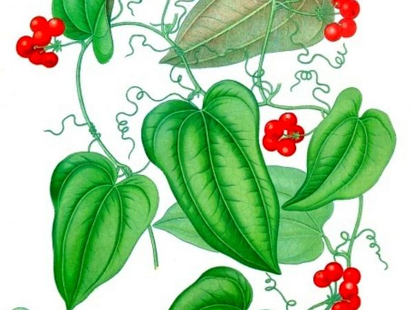 Greenbrier (Smilax) https://www.sagebud.com/greenbrier-smilax/