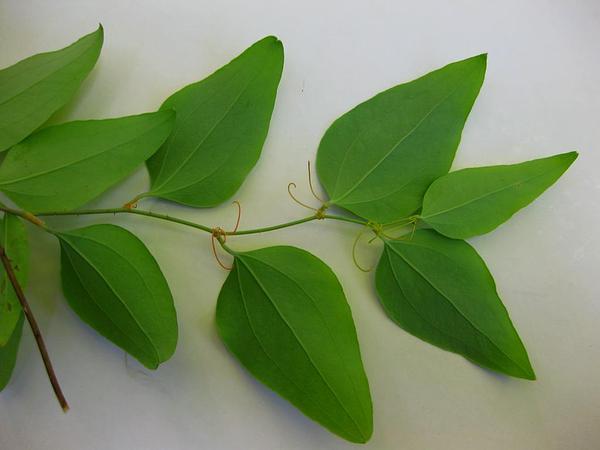 Greenbrier (Smilax) https://www.sagebud.com/greenbrier-smilax