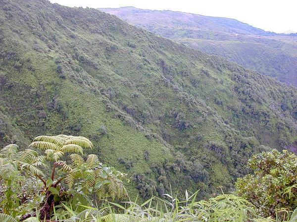 Hawai'I Greenbrier (Smilax Melastomifolia) https://www.sagebud.com/hawaii-greenbrier-smilax-melastomifolia