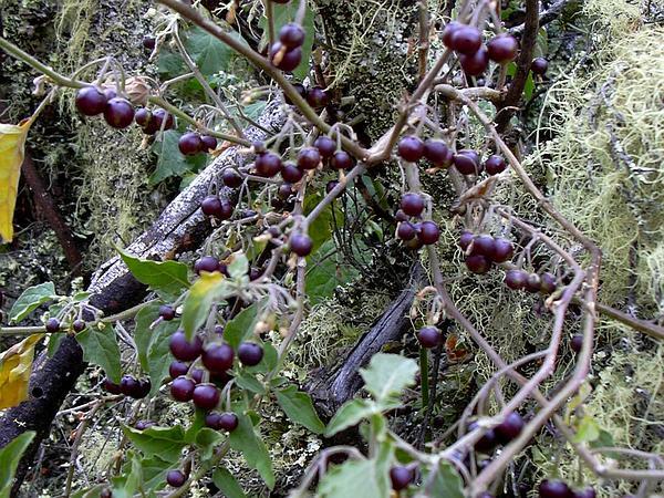 American Black Nightshade (Solanum Americanum) https://www.sagebud.com/american-black-nightshade-solanum-americanum