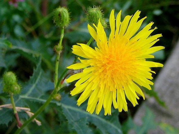 Field Sowthistle (Sonchus Arvensis) https://www.sagebud.com/field-sowthistle-sonchus-arvensis