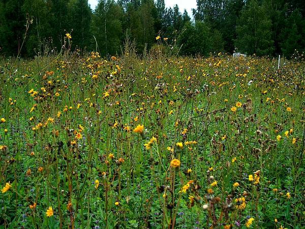 Field Sowthistle (Sonchus Arvensis) https://www.sagebud.com/field-sowthistle-sonchus-arvensis/