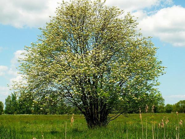 European Mountain Ash (Sorbus Aucuparia) https://www.sagebud.com/european-mountain-ash-sorbus-aucuparia