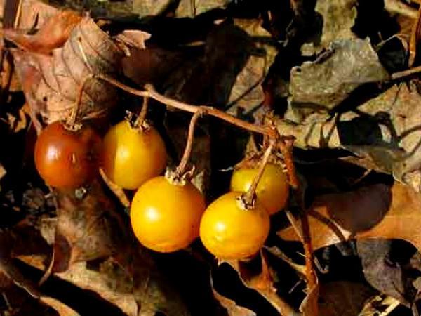 Carolina Horsenettle (Solanum Carolinense) https://www.sagebud.com/carolina-horsenettle-solanum-carolinense