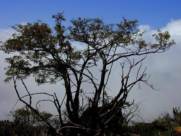 Mamani (Sophora Chrysophylla) https://www.sagebud.com/mamani-sophora-chrysophylla/