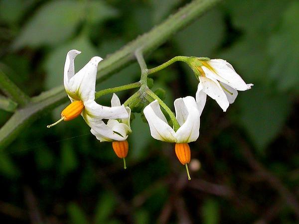 Greenspot Nightshade (Solanum Douglasii) https://www.sagebud.com/greenspot-nightshade-solanum-douglasii