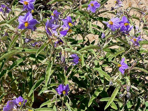 Silverleaf Nightshade (Solanum Elaeagnifolium) https://www.sagebud.com/silverleaf-nightshade-solanum-elaeagnifolium