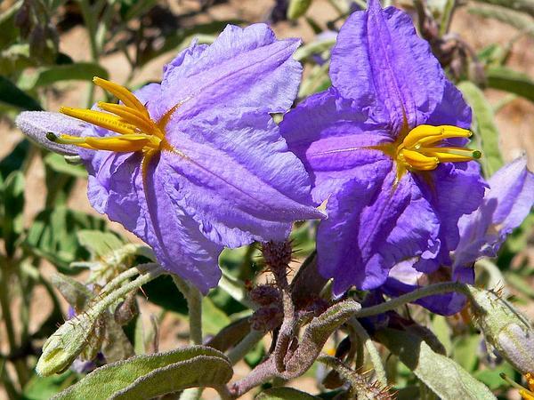 Silverleaf Nightshade (Solanum Elaeagnifolium) https://www.sagebud.com/silverleaf-nightshade-solanum-elaeagnifolium/