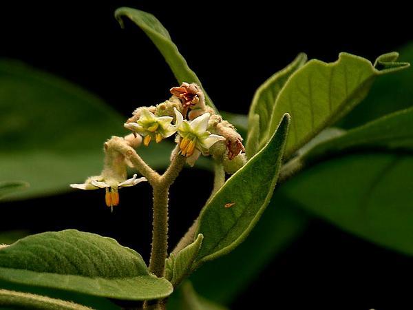 Potatotree (Solanum Erianthum) https://www.sagebud.com/potatotree-solanum-erianthum