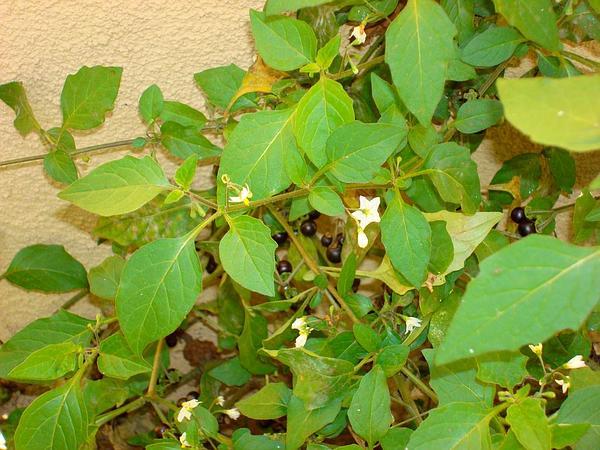 Forked Nightshade (Solanum Furcatum) https://www.sagebud.com/forked-nightshade-solanum-furcatum