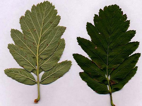 Oakleaf Mountain Ash (Sorbus Hybrida) https://www.sagebud.com/oakleaf-mountain-ash-sorbus-hybrida/