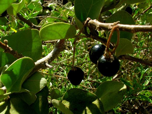 Nelson's Horsenettle (Solanum Nelsonii) https://www.sagebud.com/nelsons-horsenettle-solanum-nelsonii