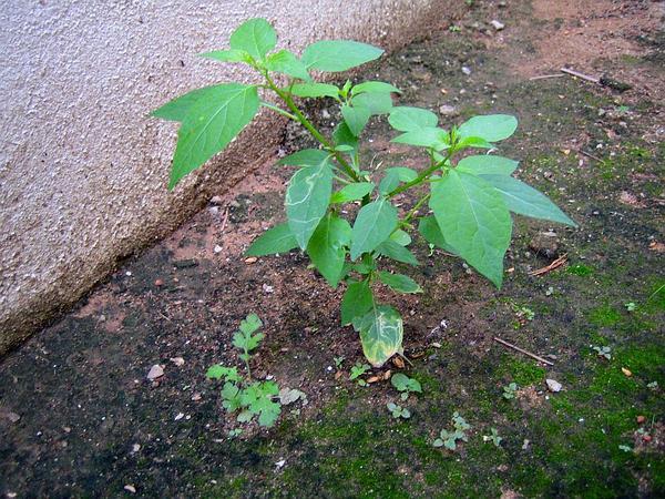 Black Nightshade (Solanum Nigrum) https://www.sagebud.com/black-nightshade-solanum-nigrum