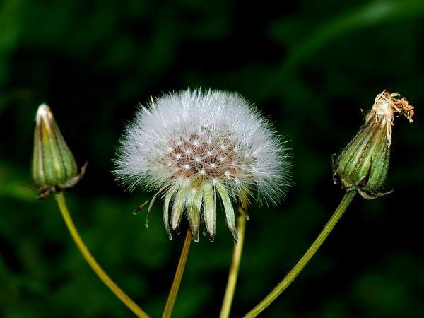 Common Sowthistle (Sonchus Oleraceus) https://www.sagebud.com/common-sowthistle-sonchus-oleraceus