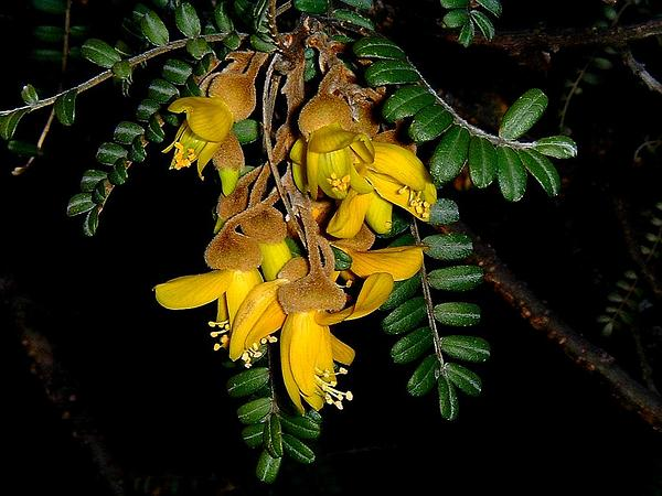 Necklacepod (Sophora) https://www.sagebud.com/necklacepod-sophora/