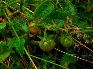 Currant Tomato