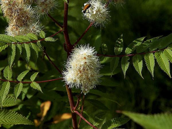 False Spiraea (Sorbaria) https://www.sagebud.com/false-spiraea-sorbaria/