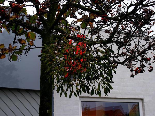 Mountain Ash (Sorbus) https://www.sagebud.com/mountain-ash-sorbus