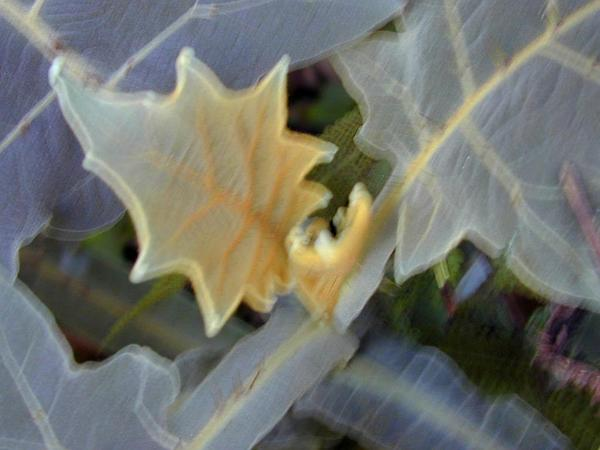 Shrubby Nightshade (Solanum Robustum) https://www.sagebud.com/shrubby-nightshade-solanum-robustum/