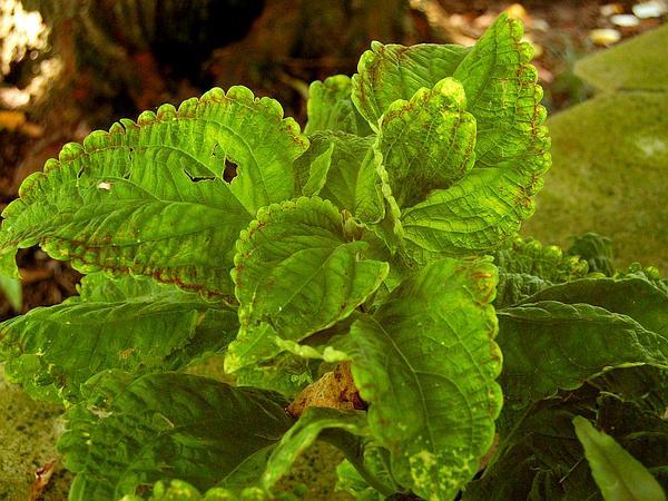 Common Coleus (Solenostemon Scutellarioides) https://www.sagebud.com/common-coleus-solenostemon-scutellarioides