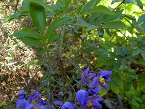 Brazilian Nightshade
