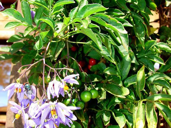 Brazilian Nightshade (Solanum Seaforthianum) https://www.sagebud.com/brazilian-nightshade-solanum-seaforthianum