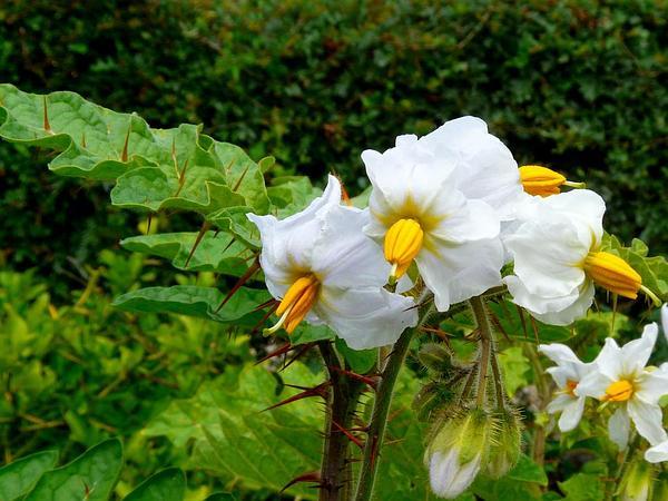 Sticky Nightshade (Solanum Sisymbriifolium) https://www.sagebud.com/sticky-nightshade-solanum-sisymbriifolium