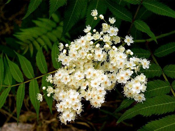 False Spiraea (Sorbaria Sorbifolia) https://www.sagebud.com/false-spiraea-sorbaria-sorbifolia