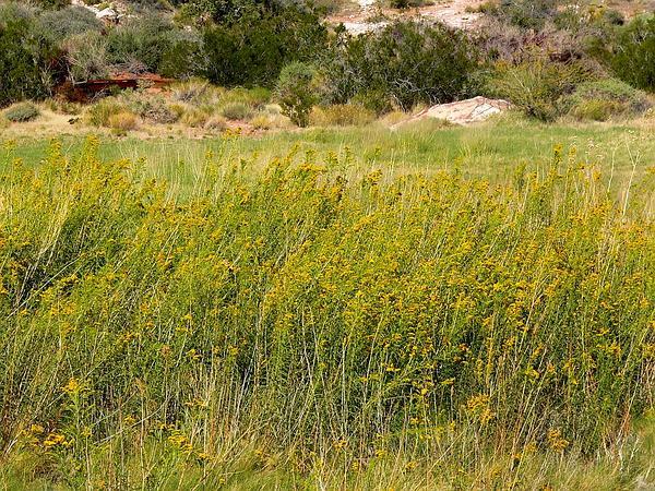 Nevada Goldenrod (Solidago Spectabilis) https://www.sagebud.com/nevada-goldenrod-solidago-spectabilis