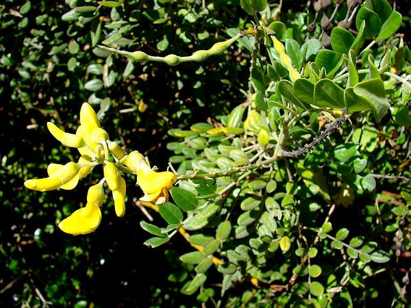 Yellow Necklacepod (Sophora Tomentosa) https://www.sagebud.com/yellow-necklacepod-sophora-tomentosa