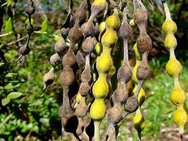 Yellow Necklacepod (Sophora Tomentosa) https://www.sagebud.com/yellow-necklacepod-sophora-tomentosa