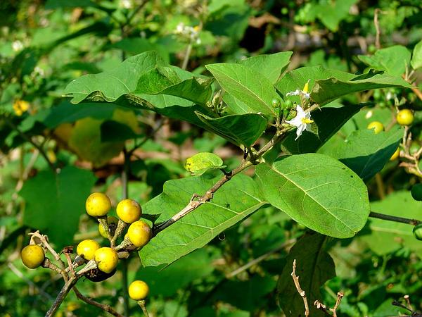 Turkey Berry (Solanum Torvum) https://www.sagebud.com/turkey-berry-solanum-torvum