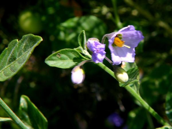 Bluewitch Nightshade (Solanum Umbelliferum) https://www.sagebud.com/bluewitch-nightshade-solanum-umbelliferum