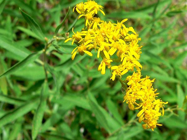 Threenerve Goldenrod (Solidago Velutina) https://www.sagebud.com/threenerve-goldenrod-solidago-velutina