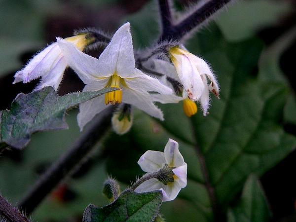 Hairy Nightshade (Solanum Villosum) https://www.sagebud.com/hairy-nightshade-solanum-villosum