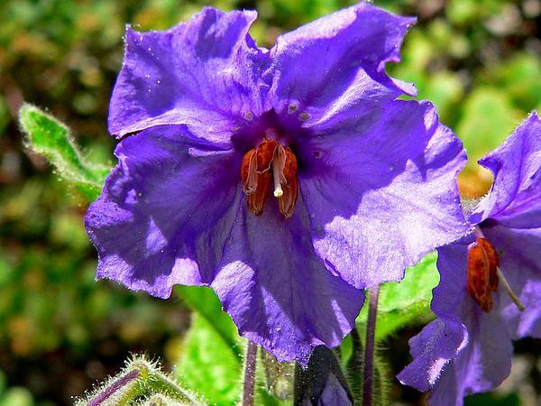 Catalina Nightshade (Solanum Wallacei) https://www.sagebud.com/catalina-nightshade-solanum-wallacei