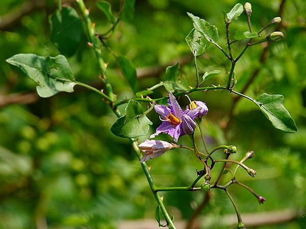 Giant Potatocreeper (Solanum Wendlandii) https://www.sagebud.com/giant-potatocreeper-solanum-wendlandii