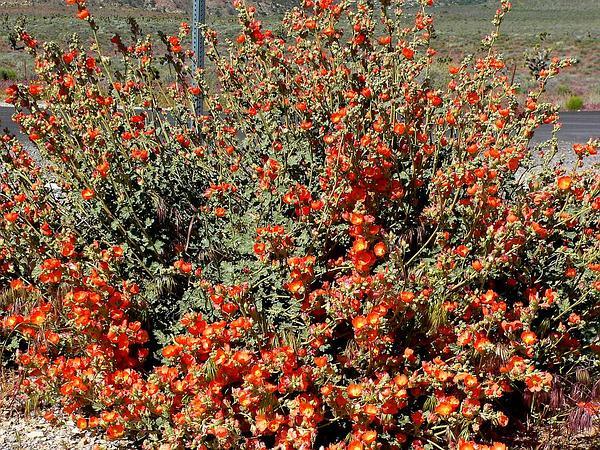 Desert Globemallow (Sphaeralcea Ambigua) https://www.sagebud.com/desert-globemallow-sphaeralcea-ambigua/