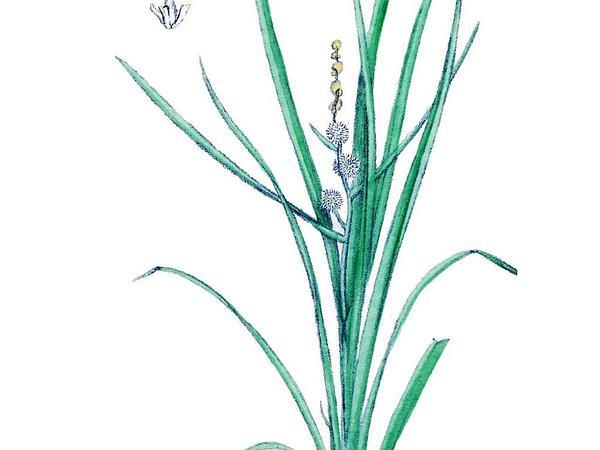 Bur-Reed (Sparganium) https://www.sagebud.com/bur-reed-sparganium