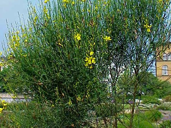 Broom (Spartium) https://www.sagebud.com/broom-spartium