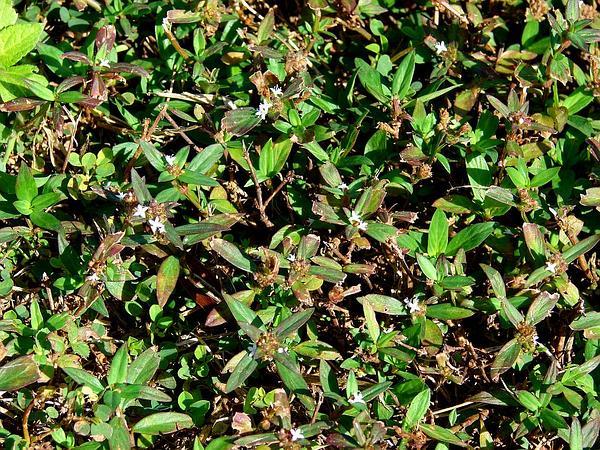 Woodland False Buttonweed (Spermacoce Assurgens) https://www.sagebud.com/woodland-false-buttonweed-spermacoce-assurgens/