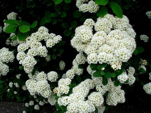 White Spirea (Spiraea Betulifolia) https://www.sagebud.com/white-spirea-spiraea-betulifolia