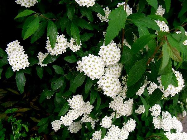 Reeves' Meadowsweet (Spiraea Cantoniensis) https://www.sagebud.com/reeves-meadowsweet-spiraea-cantoniensis