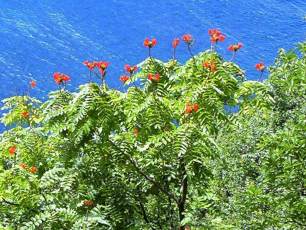 African Tuliptree (Spathodea Campanulata) https://www.sagebud.com/african-tuliptree-spathodea-campanulata/