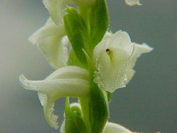 Nodding Lady's Tresses (Spiranthes Cernua) https://www.sagebud.com/nodding-ladys-tresses-spiranthes-cernua