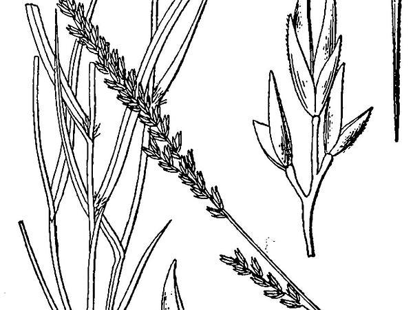 Composite Dropseed (Sporobolus Compositus) https://www.sagebud.com/composite-dropseed-sporobolus-compositus
