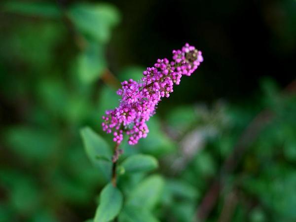 Rose Spirea (Spiraea Douglasii) https://www.sagebud.com/rose-spirea-spiraea-douglasii