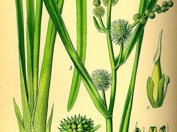 Simplestem Bur-Reed (Sparganium Erectum) https://www.sagebud.com/simplestem-bur-reed-sparganium-erectum
